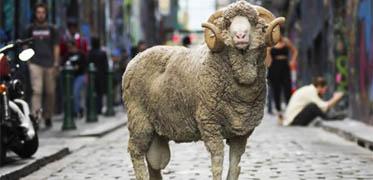 New Zealansk får